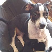 Adopt A Pet :: Donner - Mesa, AZ