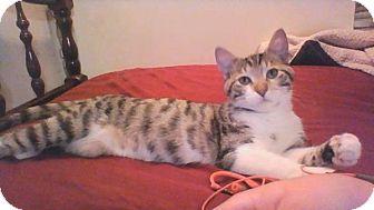 Domestic Shorthair Cat for adoption in Fenton, Missouri - Ruby f/n/a Olive