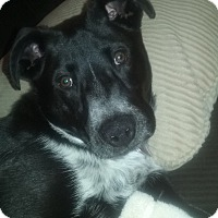 Adopt A Pet :: Oreo (FORT COLLINS) - Fort Collins, CO