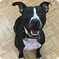Adopt A Pet :: Spot - Oak Park, IL