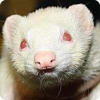 Ferret for adoption in Pinesville, Oregon - Tara