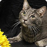 Adopt A Pet :: Manximus - Sacramento, CA