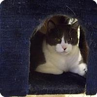 Domestic Shorthair Cat for adoption in East Smithfield, Pennsylvania - Serenade