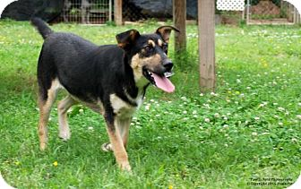 Shepherd (Unknown Type) Mix Dog for adoption in Elizabeth City, North Carolina - Micah