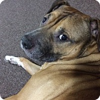 Adopt A Pet :: Bruschi - Raritan, NJ