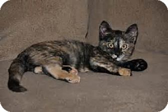 Domestic Shorthair Cat for adoption in Minerva, Ohio - Tortie