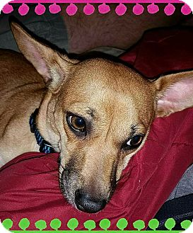 Chihuahua Mix Dog for adoption in Bonney Lake, Washington - SAM