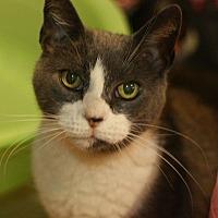 Domestic Shorthair Cat for adoption in Canoga Park, California - Toni