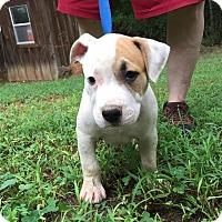 Adopt A Pet :: Cookie - Plainfield, CT