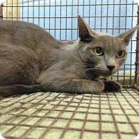 Domestic Shorthair Cat for adoption in San Bernardino, California - URGENT on 9/10 San Bernardino