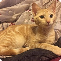Domestic Shorthair Cat for adoption in Greer, South Carolina - Taffie