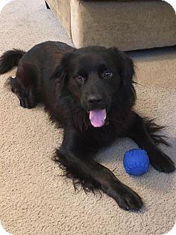 Flat-Coated Retriever Dog for adoption in Mobile, Alabama - Patrick