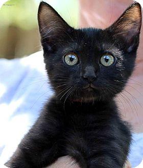 Domestic Shorthair Kitten for adoption in Rocklin, California - Firecracker