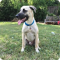 Anatolian Shepherd Dog for adoption in Houston, Texas - Vincent