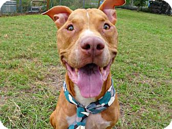 American Pit Bull Terrier Dog for adoption in Tavares, Florida - SCOOBY