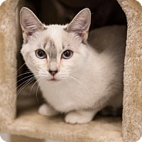 Domestic Shorthair Kitten for adoption in St. Paul, Minnesota - Asia