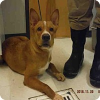 Australian Cattle Dog Mix Dog for adoption in Oroville, California - GUS