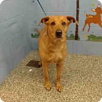 Labrador Retriever/Retriever (Unknown Type) Mix Dog for adoption in San Bernardino, California - URGENT ON 12/6  San Bernardino