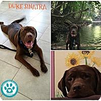 Adopt A Pet :: Duke Sinatra - Kimberton, PA