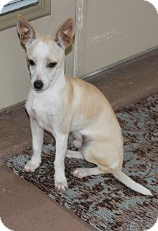 Chihuahua Mix Dog for adoption in Allentown, Pennsylvania - Chico