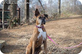 Boxer Dog for adoption in Hurst, Texas - Mulligan