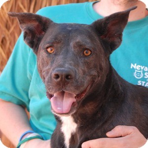 Catahoula Leopard Dog Mix Dog for adoption in Las Vegas, Nevada - Queenie