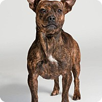 Adopt A Pet :: Tippie - Houston, TX