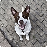 Adopt A Pet :: CLINT - Pawling, NY
