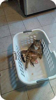 Domestic Shorthair Kitten for adoption in Libertyville, Illinois - Mango