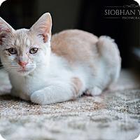 Adopt A Pet :: Peaches - Fredericksburg, VA