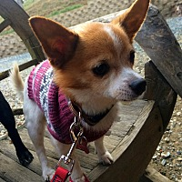 Chihuahua Mix Dog for adoption in Clayton, California - Kevin Klein
