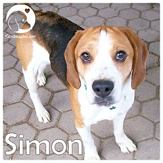 Beagle Dog for adoption in Pittsburgh, Pennsylvania - Simon