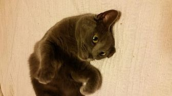 Domestic Shorthair Cat for adoption in Greensboro, North Carolina - Yowley Girl *Courtesy Listing*