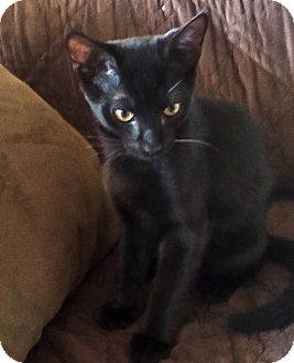 Domestic Shorthair Kitten for adoption in Alexandria, Virginia - Nick Furry (from the 'Catvengers' litter)