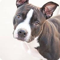 Staffordshire Bull Terrier/Pit Bull Terrier Mix Dog for adoption in Villa Park, Illinois - Carolina