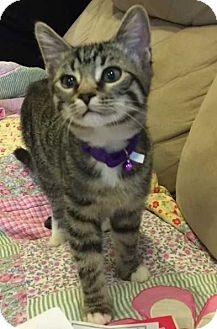 Domestic Mediumhair Cat for adoption in Cumberland and Baltimore, Maryland - Swiper