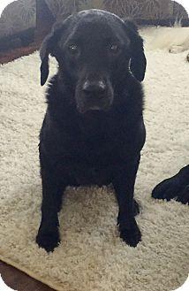Labrador Retriever Mix Dog for adoption in Hartford, Connecticut - Felicity