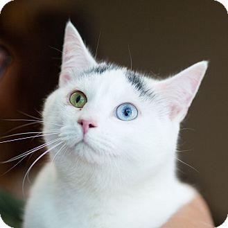 Domestic Mediumhair Cat for adoption in Avon, New York - Benedict Cumberbatch