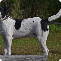 Adopt A Pet :: Levi - Lebanon, MO