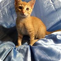 Oriental Kitten for adoption in Sarasota, Florida - Lucius