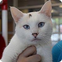 Siamese Cat for adoption in Denver, Colorado - Alaska