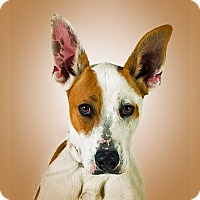 Ibizan Hound Mix Dog for adoption in Prescott, Arizona - Rufus
