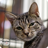 Domestic Shorthair Cat for adoption in Lyons, New York - Mia