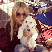 Poodle (Miniature)/Bichon Frise Mix Dog for adoption in Beverly Hills, California - Marlon Brando
