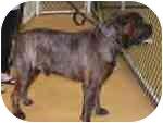 Bullmastiff Dog for adoption in North Port, Florida - DOZER