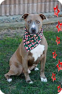 Staffordshire Bull Terrier Mix Dog for adoption in Norfolk, Nebraska - Beso