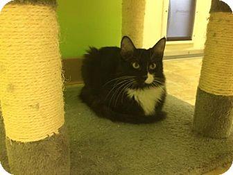 Domestic Shorthair Cat for adoption in Monroe, Louisiana - Dumpling