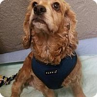 Cocker Spaniel Dog for adoption in Bronx, New York - Bubbles