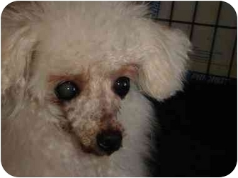 Poodle (Toy or Tea Cup) Dog for adoption in Berlin, Wisconsin - Marcel