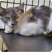Domestic Mediumhair Cat for adoption in Santa Fe, New Mexico - Delta